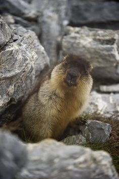 Les marmottes se réveillent aux Rochers-de-Naye