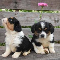 Corgipoo Puppies Fall Litter - Oswald Vineyard Corgi Poodle, Corgi Mix, Other Ways To Say, New Tricks, Vineyard, Third, Fur, Puppies, Dogs
