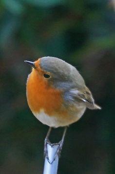 roodbortje - Vogels -
