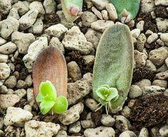 Ein Blatt in die Erde stecken, feucht halten, fertig. Sukkulenten lassen sich leicht vermehren. Foto: Shutterstock