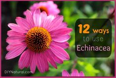 Echinacea Benefits on Health and 12 Ways To Use It : Echinacea benefits immune system health, and the research is well documented. BUT - did you know there are many more uses most people don't know about?