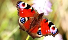 The peacock is among the butterfly varieties spreading to the north, according to a 10-year study. Photograph: Getty
