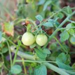 Causes Of Small Tomatoes – Why Does Tomato Fruit Stay Small One problem that we receive many questions about pertains to tomato plants that produce abnormally small fruit. If you've noticed that your tomatoes are too small, click this article to learn some reasons why tomato fruit won't grow to an appropriate proper size.