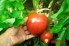 V časopise Záhradkár som pred asi piatimi rokmi čítal super článok o tom, ako predchádzať napadnutiu paradajok plesňou a ako získať veľké, sladké a hlavne zdravé plody aj bez chémie. Všetko sa točí okolo koreňov,