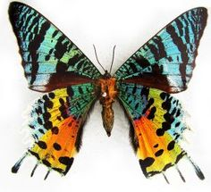 Rainbow Tailed Moth
