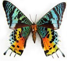 Rainbow Tailed Moth