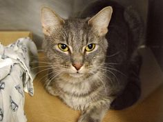 """PECHO - A1092920 - - Manhattan  ***TO BE DESTROYED 10/14/16*** PECHO BEING DUMPED FOR """"HOUSE SOILING,"""" BUT DIDN'T BOTHER TO TRY TO CORRECT THIS BEHAVIOR ISSUE! He's just a year old and apparently soils the house, piles of cloths and had been seen by a vet for this when he was 4 months old. But the vet found NOTHING wrong. He's NEUTERED, and if these owners really cared they should have brought him back. Because with another cat in the house, it"""