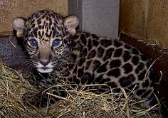 baby jaguar born at the Brevard Zoo