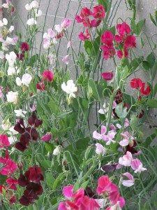 Sweetpeas Lathyrus odoratus (reukerwtjes)