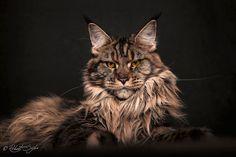gatos-maine-coon-027