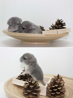 These baby chinchillas are so adorable.