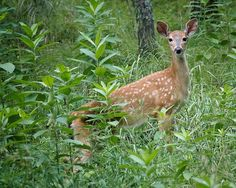 White-tailed Deer Fawn - Park Rapids, MN