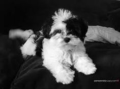 havanese dogs - Google Search