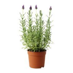 IKEA - LAVANDULA, Potplant, Decoreer je huis met planten in combinatie met een sierpot die bij je stijl past.