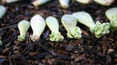 Propagating succulents on your own is a simple, and cost effective way to grow your collection without spending a bunch of money. In the most basic terms, propagation is the act of taking an element of a mature succulent and using that e. Propogate Succulents, Propagate Succulents From Leaves, Baby Succulents, Growing Succulents, Succulent Gardening, Succulent Care, Planting Succulents, Organic Gardening, Propagating Cactus
