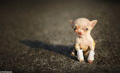 Chihuahua )))