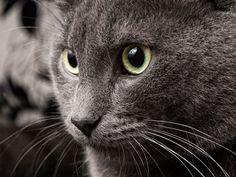 Edel und unheimlich schön: Bilder der Russisch Blau Katze - Seite 10