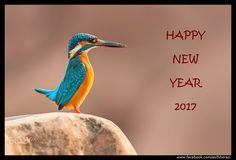 Happy New Year 2017 - Common Kingfisher Islamabad Pakistan