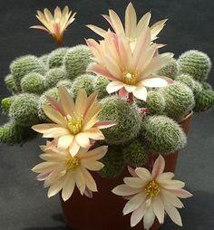Hybride Rebutia heliosa X albiflora