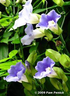Blue sky vine (Thunbergia grandiflora) - a little different from Blue Trumpet Vine (Thunbergia laurifolia variegata)