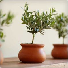 Olive Plant Topiary