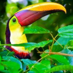 ✨God's Beautiful Creation✨ My heart belongs to the tropics... #toucan #tropical…