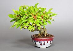 ウメモドキY(うめもどき・梅擬)実もの盆栽の販売と育て方・作り方・Ilex serrata bonsai photo