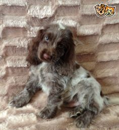We have a stunning litter of show type KC registered cocker spaniel puppies, we are very proud of our puppies and are looking for special loving homes Show Cocker Spaniel, American Cocker Spaniel, Baby Puppies, Cute Puppies, Cockerspaniel, Cute Cats And Dogs, Dog Boarding, Cute Funny Animals, Dog Photos