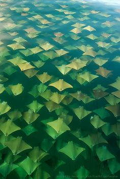 Manta Rays migrating from Yucatan to Florida