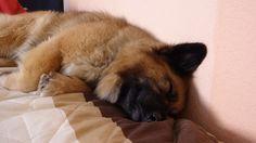 German Shepherd se parece a mi perro lindo.