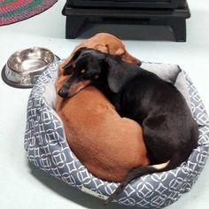 Pinterest: Bri_Raquel #dachshund