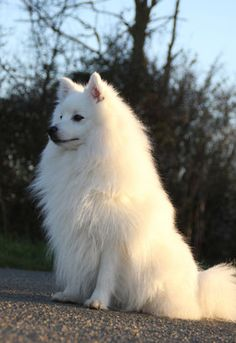 Things I enjoy about the Cute Pomeranian Discover Inquisitive Pomeranian Samoyed Dogs, Pet Dogs, Beautiful Dogs, Animals Beautiful, Cute Baby Animals, Animals And Pets, Mastiff Puppies, Labradoodle Puppies, Pomsky Puppies