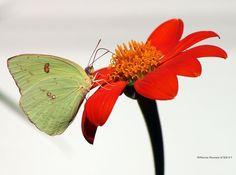 #butterflies Cloudless Sulphur photographed by Marcie Daniels in Summerville Dorchester County South Carolina http://ift.tt/2itqEnB http://ift.tt/2g85ef1 #macro #insectagram #flowers