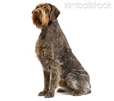 wire haired griffon  so cute. love this breed