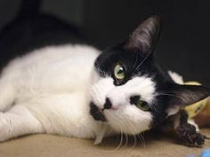 TO BE DESTROYED 10/19/14 ** ADORABLE YOUNG TUXIE! Panfilo was displaying good but fearful behavior; interacted with the assessor after a slow approach. Per vet exam: seems nervous but friendly ** Brooklyn Center  My name is PANFILO. My Animal ID # is A1016139. I am a neutered male black and white amer sh mix. The shelter thinks I am about 1 YEAR  OWNER SUR on 10/02/2014 from NY 11372, MOVE2PRIVA.