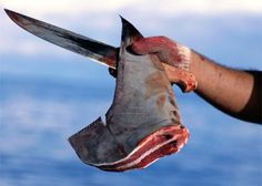 Stop shark finning! Sharks are caught, finned (their fins cut off while they are alive) and then thrown back into the water. It is estimated that between 73 million and 100 million sharks are killed EACH YEAR. All for shark fin soup.