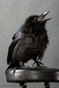 Image with Crows Ravens: #Raven chick. From http://www.123rf.com/#aniruddhaalek