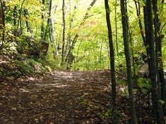 maple tree forest - Google Search