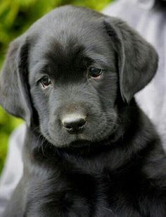 Black lab                                                                                                                                                                                 More