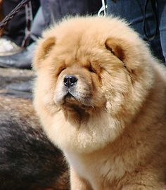 Chow-chow   JUST LOOK AT IT