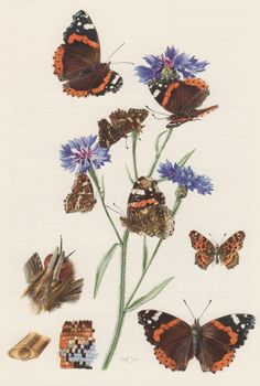 1957 Red Admiral Butterfly Antique Print Insects by Craftissimo