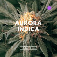 Aurora Indica, Photo Credits: growmedical420