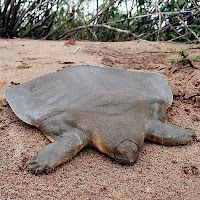 Asian giant softshell turtle - aka - Cantor's giant softshell turtle. so cool looking!