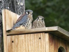 Teton Raptor Center - Kestrel Nest Boxes