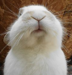 little bunny mouth on a little bunny face Funny Bunnies, Baby Bunnies, Cute Bunny, Bunny Rabbits, White Rabbits, Hamsters, Cute Baby Animals, Animals And Pets, Funny Animals