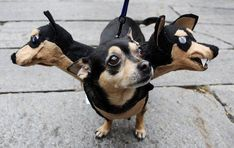 These Halloween dog costumes are proof that Halloween is't just for humans. A hippie, a hotdog, a taco, the list of cool Halloween dog costumes is endless. Funny Dogs, Cute Dogs, Funny Animals, Cute Animals, Funny Dachshund, Awesome Dogs, Animal Costumes, Pet Costumes, Costume Ideas