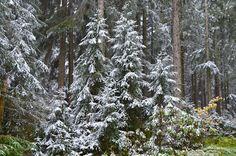 https://flic.kr/p/AmZKKD | Snowy upper forest, Black Forest, Germany