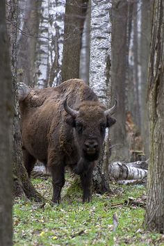 Żubr (european bison). Very polish animal.