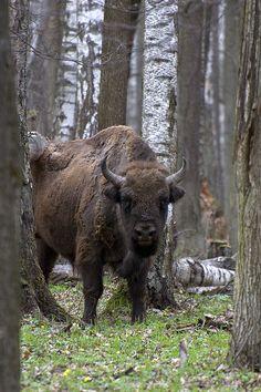Żubr (european bison). Very polish animal.