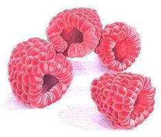 Raspberries :: colored pencil :: Mariana Musa